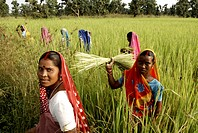 Agricultural workers ; Carm Daksh ; Bilaspur ; Chhattisgarh ; India