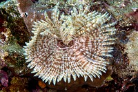Feather duster worm sabellastarte indica in the Red Sea.