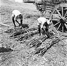 Year 1955 ; people working in sugar factory ; bundling sugarcanes ; Mandya ; Mandya district ; Karnataka ; India