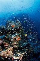 Reef Fish Around Coral