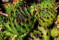 Mountain houseleek (Sempervivum montanum), Cactaceae.