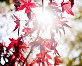 Sunlight shining through red Japanese maple tree leaves