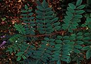 Bristly Locust leaves (Robinia fertilis), Fabaceae-Leguminosae.