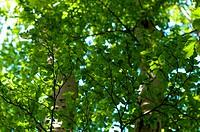 Beech foliage and may beetles