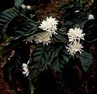 Coffe flower (Coffea), Rubiaceae.