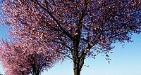 Flowering Spring Cherry specimen (Prunus subhirtella), Rosaceae.