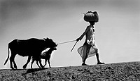 Rural man going with cow and goat ; Jodhpur ; Rajasthan ; India MR746B