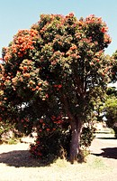 Red Flowering Gum (Corymbia ficifolia) flowering, Myrtaceae.