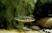 Three-spined Stickleback (Gasterosteus aculeatus), Gasterosteidae.