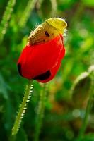 Poppy bud under process of opening ; Jodhpur ; Rajasthan ; India