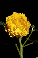 Carnation background backgrounds bloom blossom blooms blossoms close_ups closeups Color Colors exotic Flower Flowers India Nature One Outdoor petal pe...