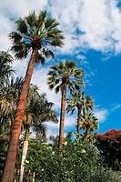 palm trees row in Garcia Sanabria Park in Santa Cruz de Tenerife city center Spain