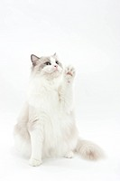 A sitting cat raising its hand