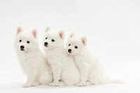 Three puppies in line