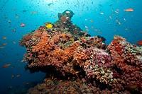 Colored Coral Reef, South Male Atoll, Maldives