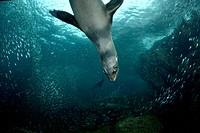 Hunting California Sea Lion, Zalophus californianus, La Paz, Baja California, Mexico
