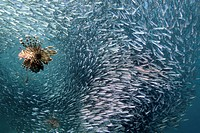 Lionfish and Shoal of Glassfish, Pterois miles, Red Sea, Egypt