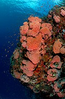 Orange Cave Coral Colony, Tubastrea faulkneri, Alor, Indonesia