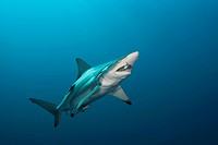 Blacktip Shark, Carcharhinus limbatus, Aliwal Shoal, Indian Ocean, South Africa