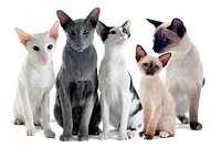 oriental and siamese cats