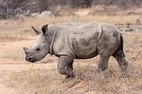 Junges Breitmaulnashorn Ceratotherium simum im Busch _ White Rhino Ceratotherium simum