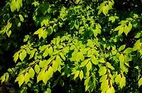 blühende Zweige