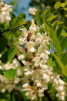 Schmetterlingsblüten mit Biene