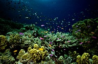 Coral garden and Yellow_striped fairy basslets with Angelfish and Golden damselfish, Great Barrier Reef, Queensland, Australia