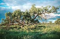 Black box tree, Nocoleche Nature Reserve, far western plains of New South Wales, Australia