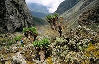 Trekking towards Lake Kitandara with giant alpine flora, Rwenzori Mountains, Uganda