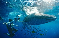 Whale shark Rhincodontypus with diver filming it