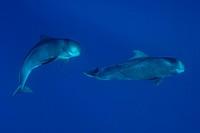 Sperm whales swimming underwater