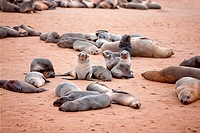 Colony of cape fur seals at Cape Cross in Namibia