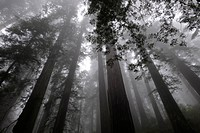 Redwood trees, in Del Norte State Park, part of Redwoods National Park, California