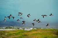 Little auk colony flying, Alle alle, Magdalenefjord, Spitsbergen, Svalbard, Arctic