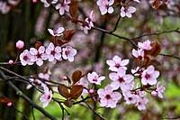 Spring blosssoms, Prunus Cerasisfera, Asturias, Spain