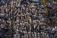 Northern gannets (Morus bassanus) on breeding colony site at Runde Island, Norway, Scandinavia, Europe