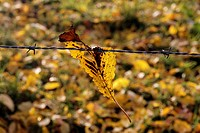 Autumn leaf of a grazing fence