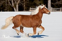 Haflinger Horse galloping on a snowy meadow
