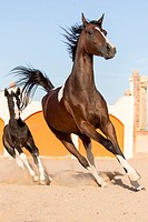 Purebred Arabian Horse. Pinto mare with foal galopping in a paddock