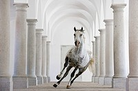 Lipizzan Bonavoia canters through a ballroom-hall in Schloss Hof, one the biggest baroque palaces in Europe. Austria