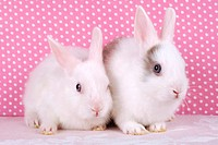 Mini Rex Rabbit. Two juvenile