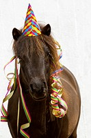 Shetland Pony. Bay horse Pepe with colourful hat and paper streamers