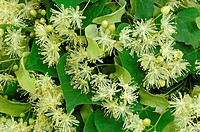 DEU, 2007: Small-leaved Lime (Tilia cordata), leaves and blossoms.