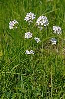 DEU, 2008: Cuckoo Flower, Ladys Smock (Cardamine pratensis), flowering.