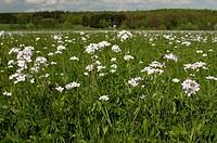 DEU, 2009: Cuckoo Flower, Ladys Smock (Cardamine pratensis), flowering plants on a meadow.