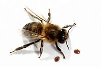 DEU, 2006: European Honey Bee, Western Honey Bee (Apis mellifera, Apis mellifica) with Varroa (Varroa destructor, Varroa jacobsoni), studio picture.