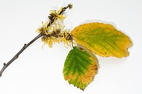 DEU, 2010: Witch Hazel (Hamamelis virginiana). Twig with flowers in late autumn. Studio picture against a white background.