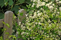 DEU, 2006: Old mans beard, Travellers Joy (Clematis vitalba), flowering plant climbing on a fence.