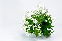 DEU, 2007: Sweet Woodruff (Galium odoratum), flowering, studio picture.